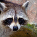 Galveston Raccoon Removal
