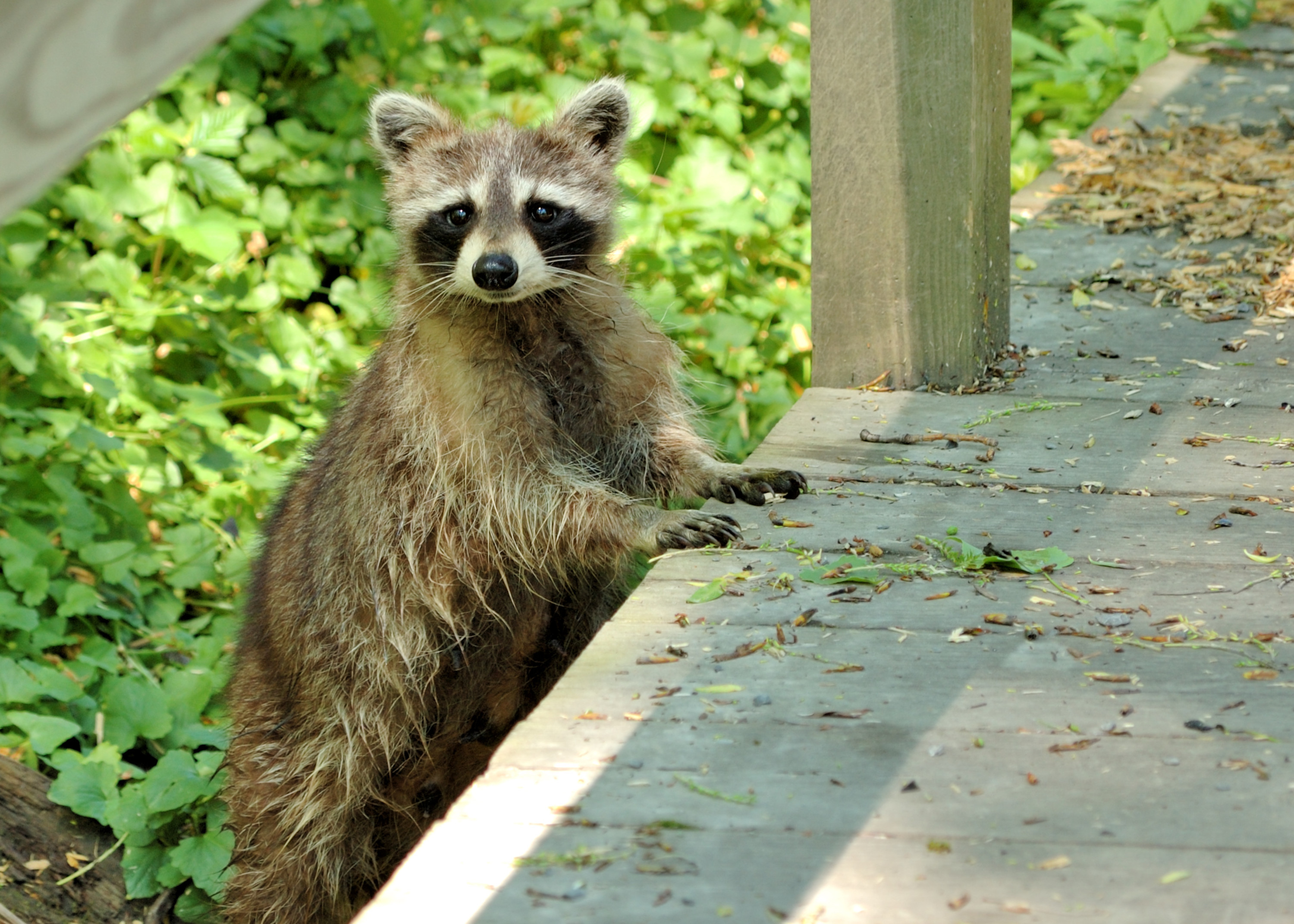 Image of: Bat Wildlife Control Technicians Have Trained Professionals In Raccoon Control And Raccoon Removal Throughout Texas Including Tyler Midland Houston Dallas Daily Journal Raccoon Control Texas Wildlife Control