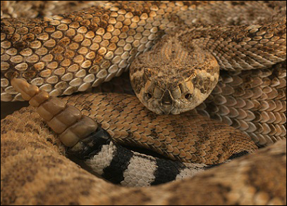 Brown Snakes in Houston Snake Removal of Houston is a