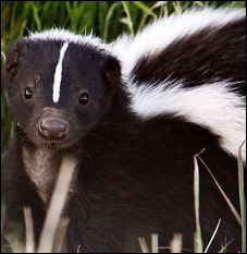 Texas Skunk Removal
